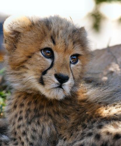 CheetahCubs by Brian_B