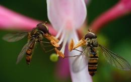 Sharing the honeysuckle flower