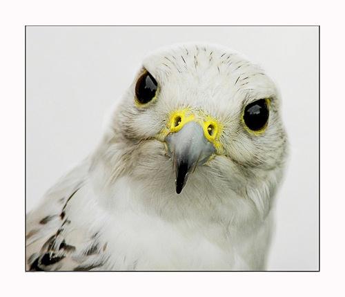 Gyr Falcon by sparky2000