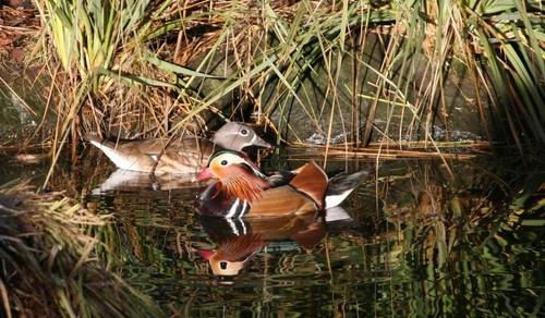 Mr & Mrs Mandarin Duck by FeePhoto