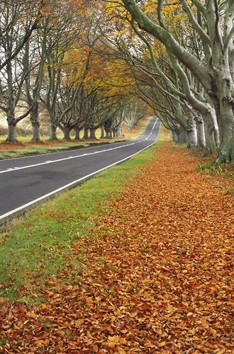 Autumn Beech Avenue by Steve_Atkins