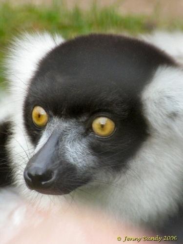 Lemur by jb_127