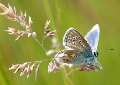 Common Blue by Platchet