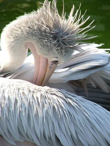 pelican by BOB_CHATFIELD