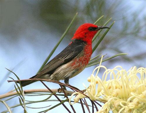 Scarlet Honeueater by minniemanx