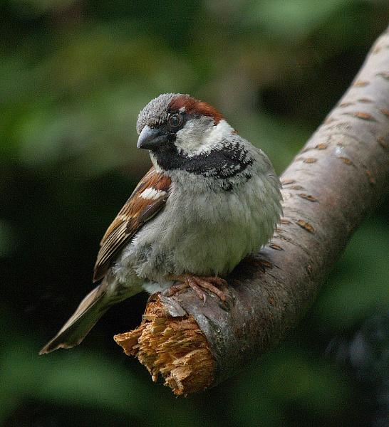 House Sparrow by abtuie