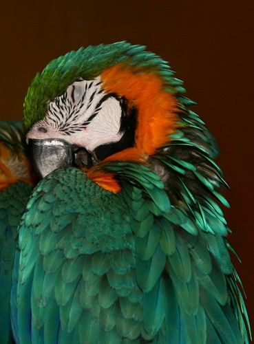 Sleeping Parrot by liparig
