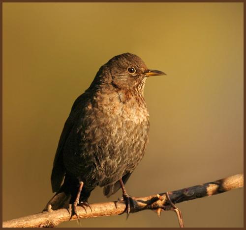 Blackbird by pcjackso