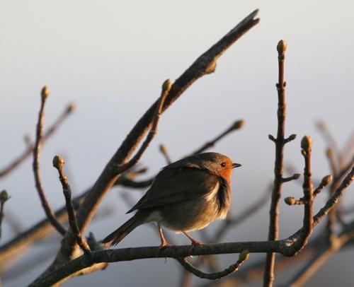 Ballyronan Robin by chenderson