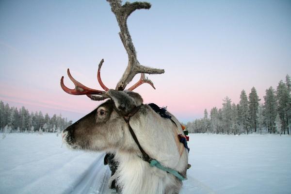 Lapland Reindeer by SherriG