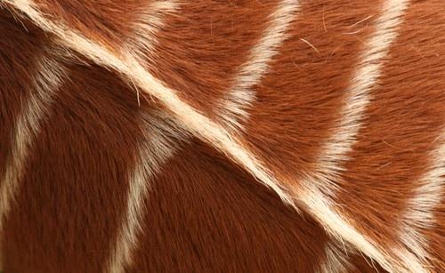 Bongo Stripes by FeePhoto