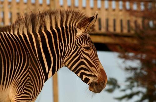 Sunset Zebra by Gomez
