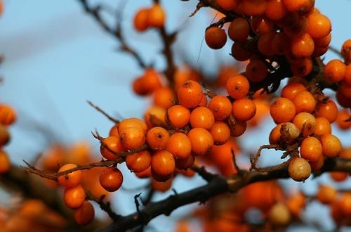 Orange Berries by Gomez