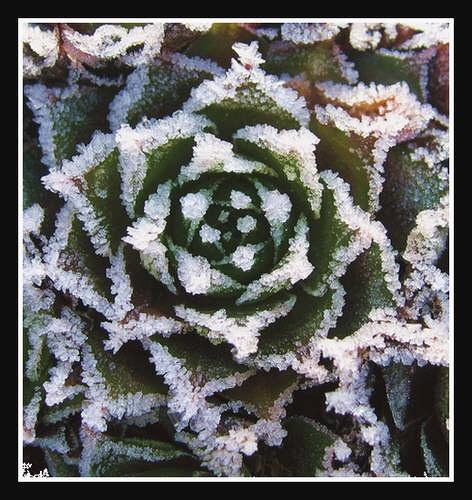 Frosty rosette by oldgreyheron