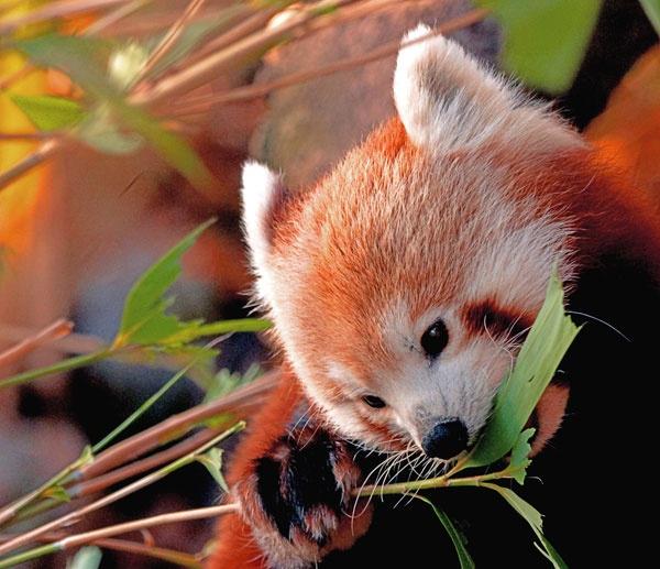 Red Panda by mkphotobright