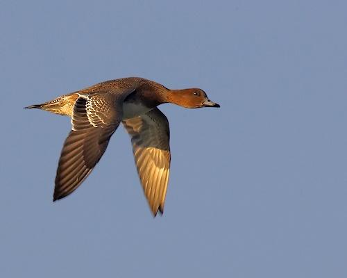 Wigeon flying! by leeg