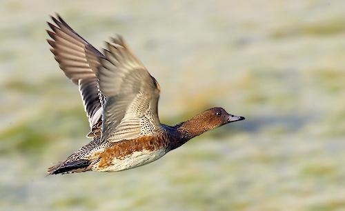 Wigeon flying again.. by leeg
