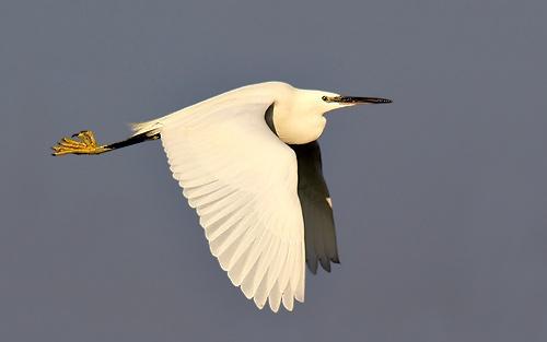 Egret in flight by leeg