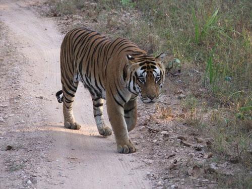 Indri male I, Kanha NP by ganstey