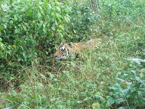 Indri male II, Kanha NP by ganstey