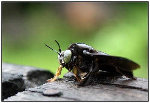 big black bee by greensurfingbear