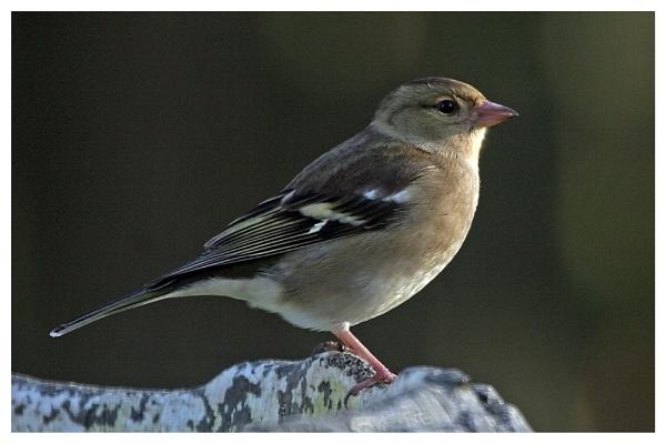 chaffinch by helengib