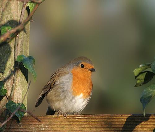 Robin by pcjackso