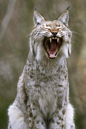 Wildwood Lynx by Shaun_W