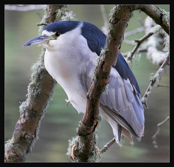 Black- crowned Night Heron by maures53