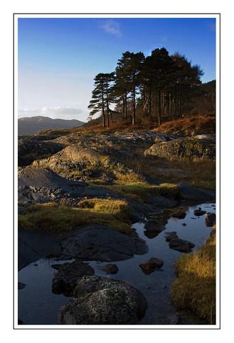 Pine trees on Loch Sunart by neptune