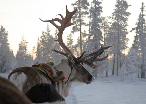 Lapland Reindeer 2 by SherriG