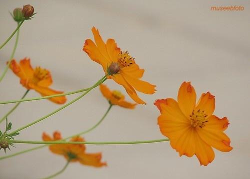 Orange Cosmos by museebfoto