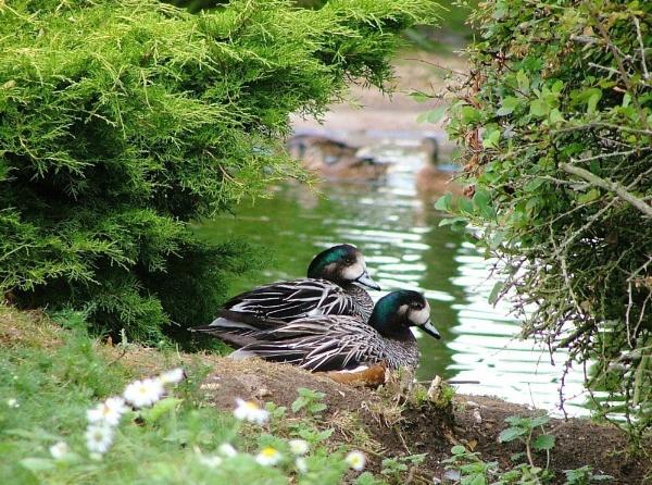 2 Ducks by MandyS
