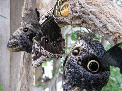 Owl Buttterfly by jb_127