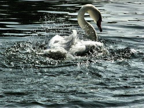 Swan by Nade