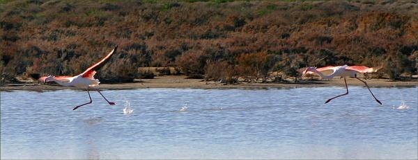 Flamingos...... Akrotiri.