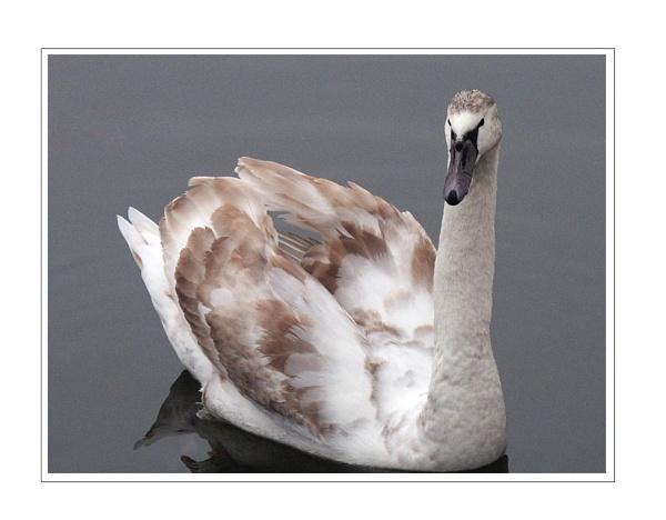 Marbled Swan by Dennie