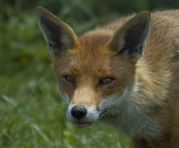 Fox Portrait by ReidFJR