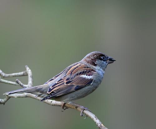 Sparrow by pcjackso