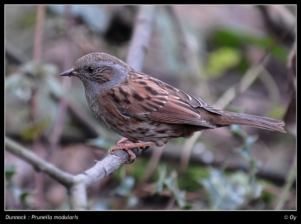 Dickie Dunnock by Oy_bumbler