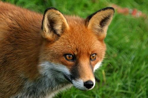 wildwood fox by neleliza