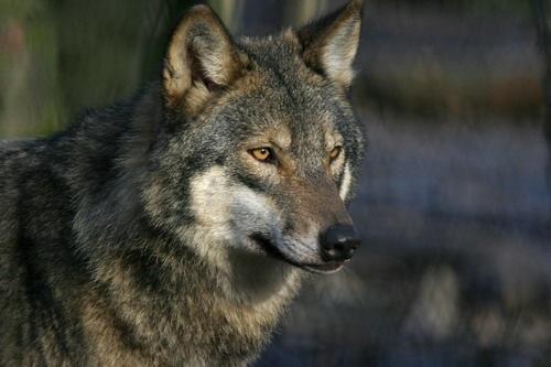 wildwood wolf by neleliza