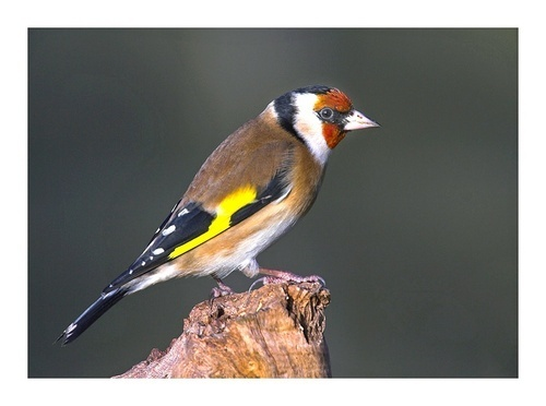 Goldfinch by chinny