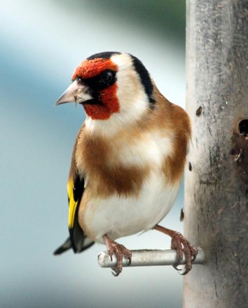 Goldfinch by warbstowcross