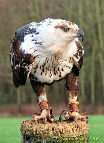 Sea Eagle by jb_127