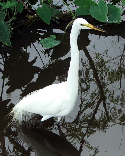 White Egret by BOB_CHATFIELD