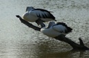Pair-of-Pelicans