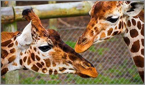 Double Giraffe by robs