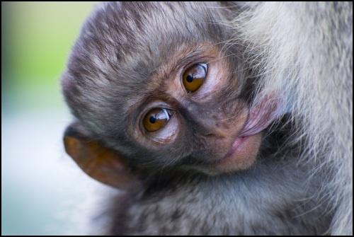 Baby Vervet Monkey by tomfrank