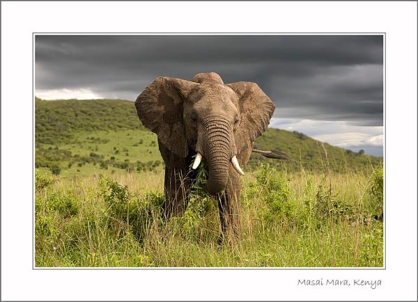 Masai Mara Elephant by stevie